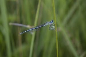 Libelle in der Nähe von Elbe